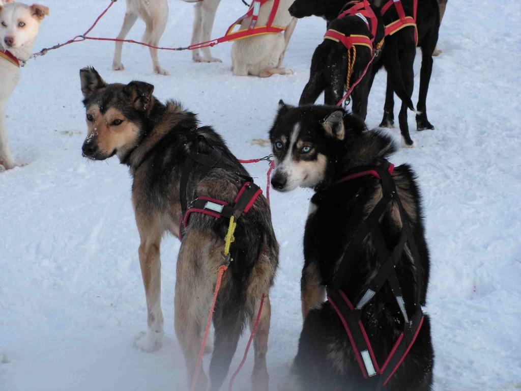 Huskies, Polarhunde, Wintersport, Schlittenhunde