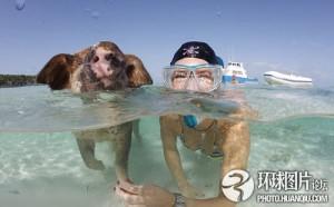 Scweine im Meer